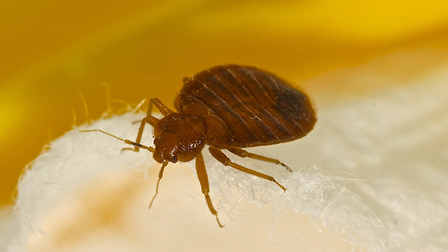 Bed Bug Control - Bed Bug Exterminator - Bed Bug Treatment